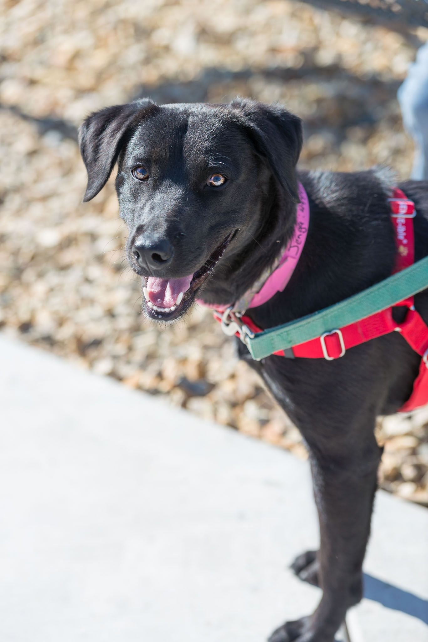 Jenga, a one year old Labrador Retriever, is an active and