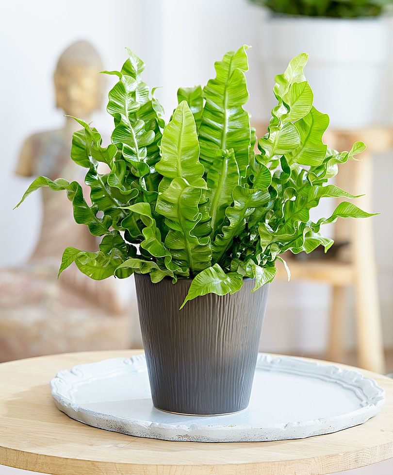 Bird's Nest Fern can buy at ikea doesn't require a lot