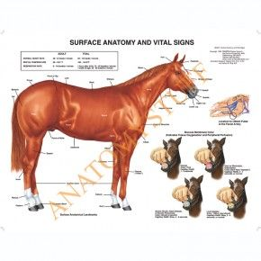 Equine Digestive System Laminated Chart / Poster   Pinterest ...