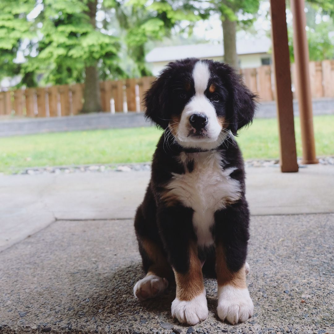 12 Weeks And 16 Weeks Dog Gifts Bernese Mountain Dog Dogs