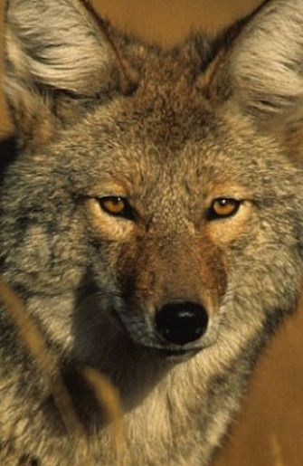 portrait of a Coyote