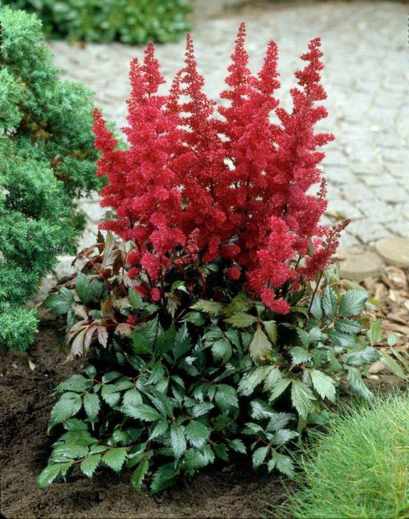 Astilbe mit roten Blüten