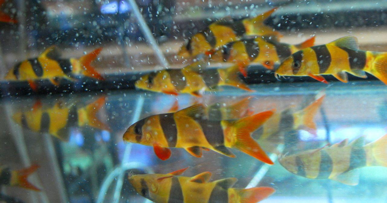 Clown Loach 4 Inches Clown Loach Tropical Fish Store Tropical Fish