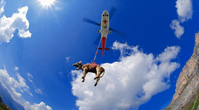 Cow hoist in Switzerland.