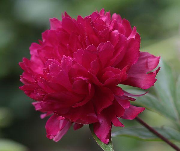 Peonies Peonies Bloom Dark Pink