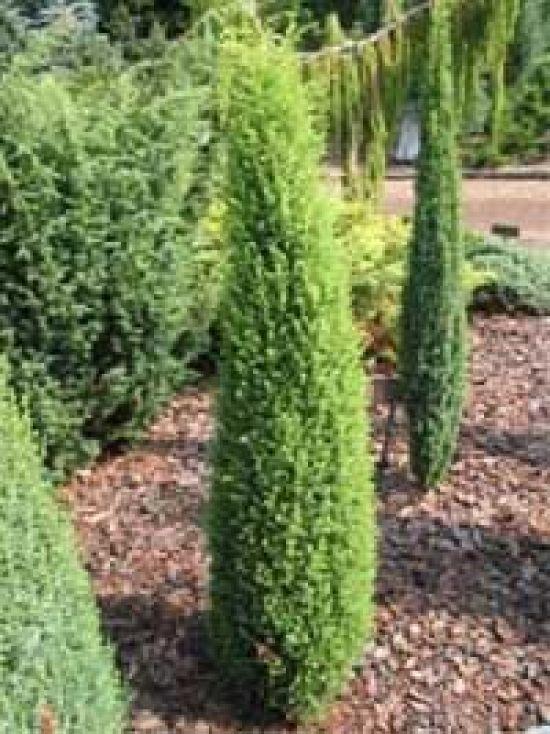 juniperus communis 39 sentinal 39 s ulenwacholder 39 sentinal 39 pflanzen On günstige gartenpflanzen