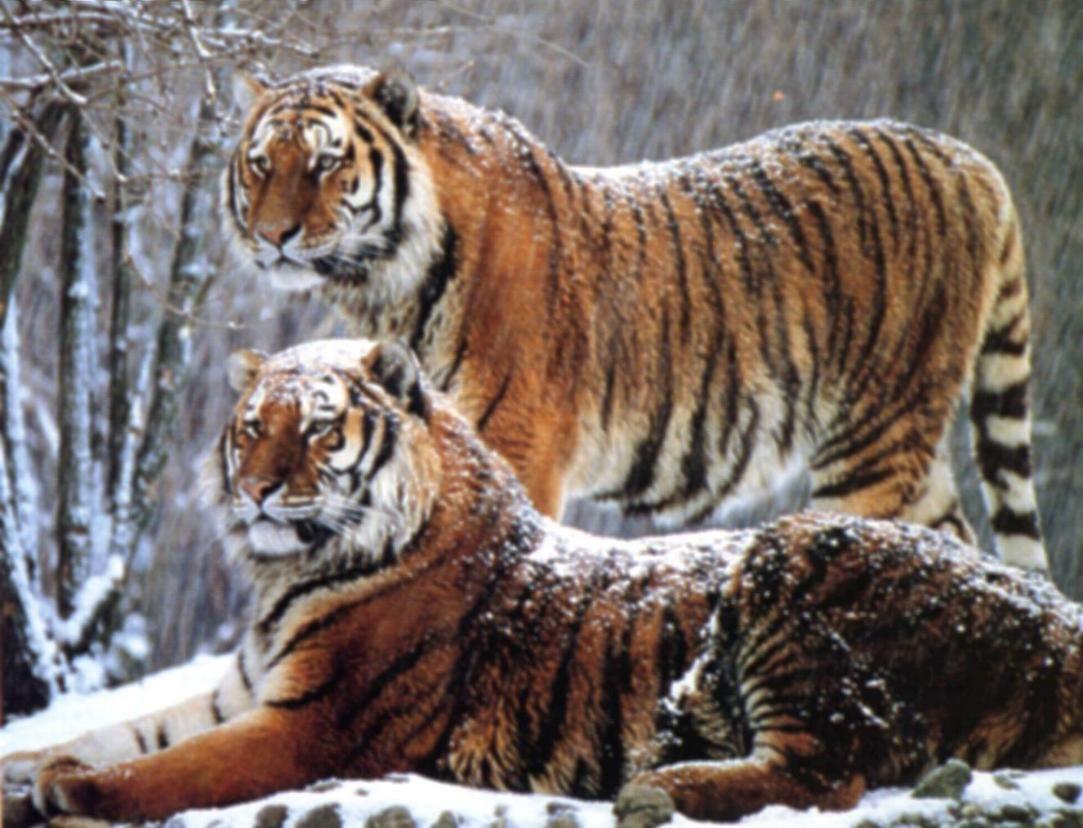 les tigre de sibérie | les tigres de Sibérie qui ne se comptaient plus que par centaines ...
