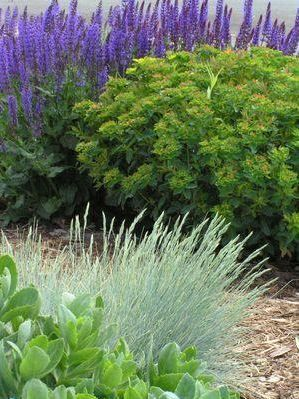 Festuca glauca 'Boulder Blue' Grass-Ornamental from Ebert's Greenhouse Village