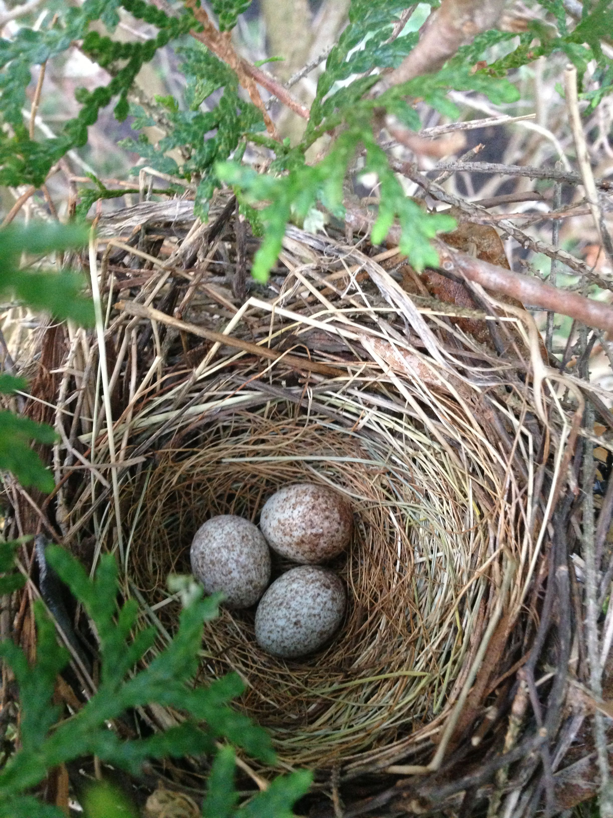 Cardinal Nest Bird Eggs Nest Birdhouses Rustic