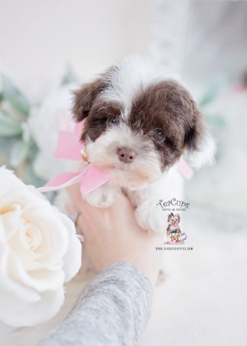 Toy Teacup Puppies For Sale cuteteacuppuppies in 2020