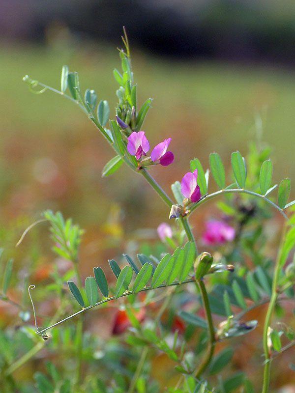 カラスノエンドウ   植物 図鑑, 植物, 美しい花