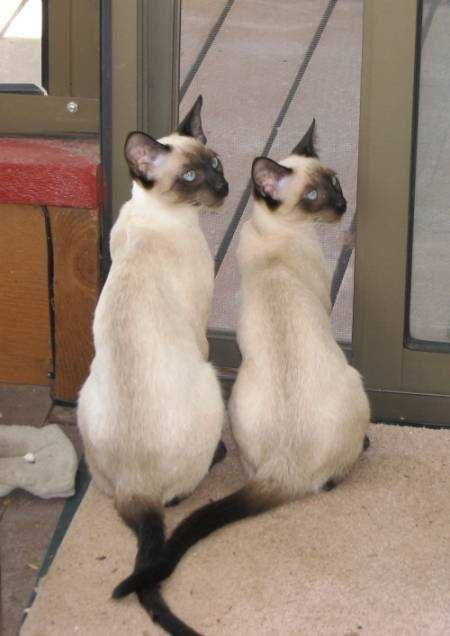 We Hear You We Re Waiting For The Can Opener Siamese Cats Blue Point Siamese Cats Cat Breeds