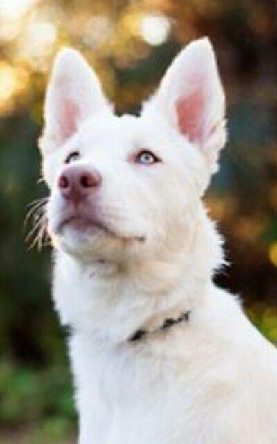 Shepherd Black Border German Dog Collie Mix