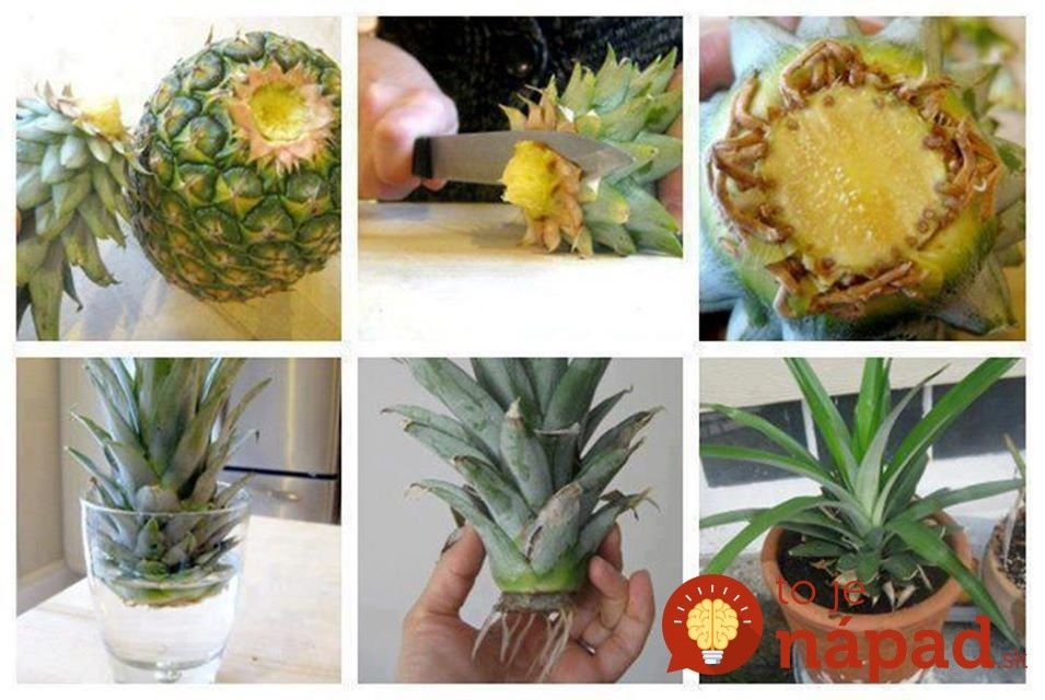 How-to-Grow-Pineapple-in-a-Plant-Pot