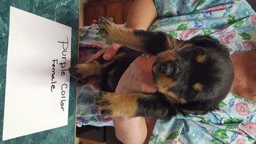 Litter Of 7 Rottweiler Puppies For Sale In Kings Mountain Nc Adn