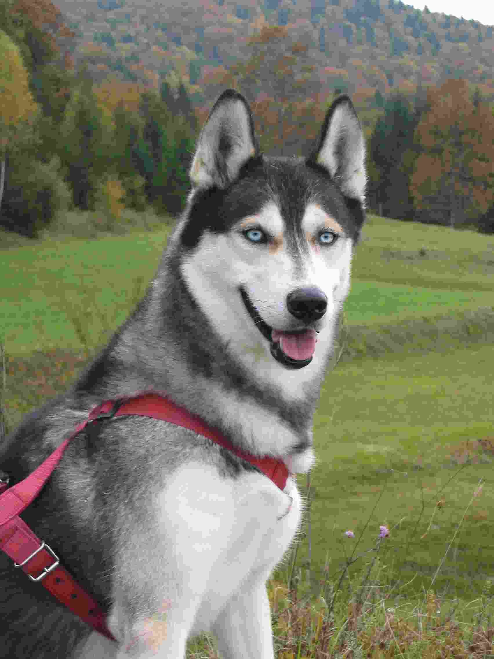 Siberianhusky Dogs Siberian Husky Puppies Need Energetic Owners