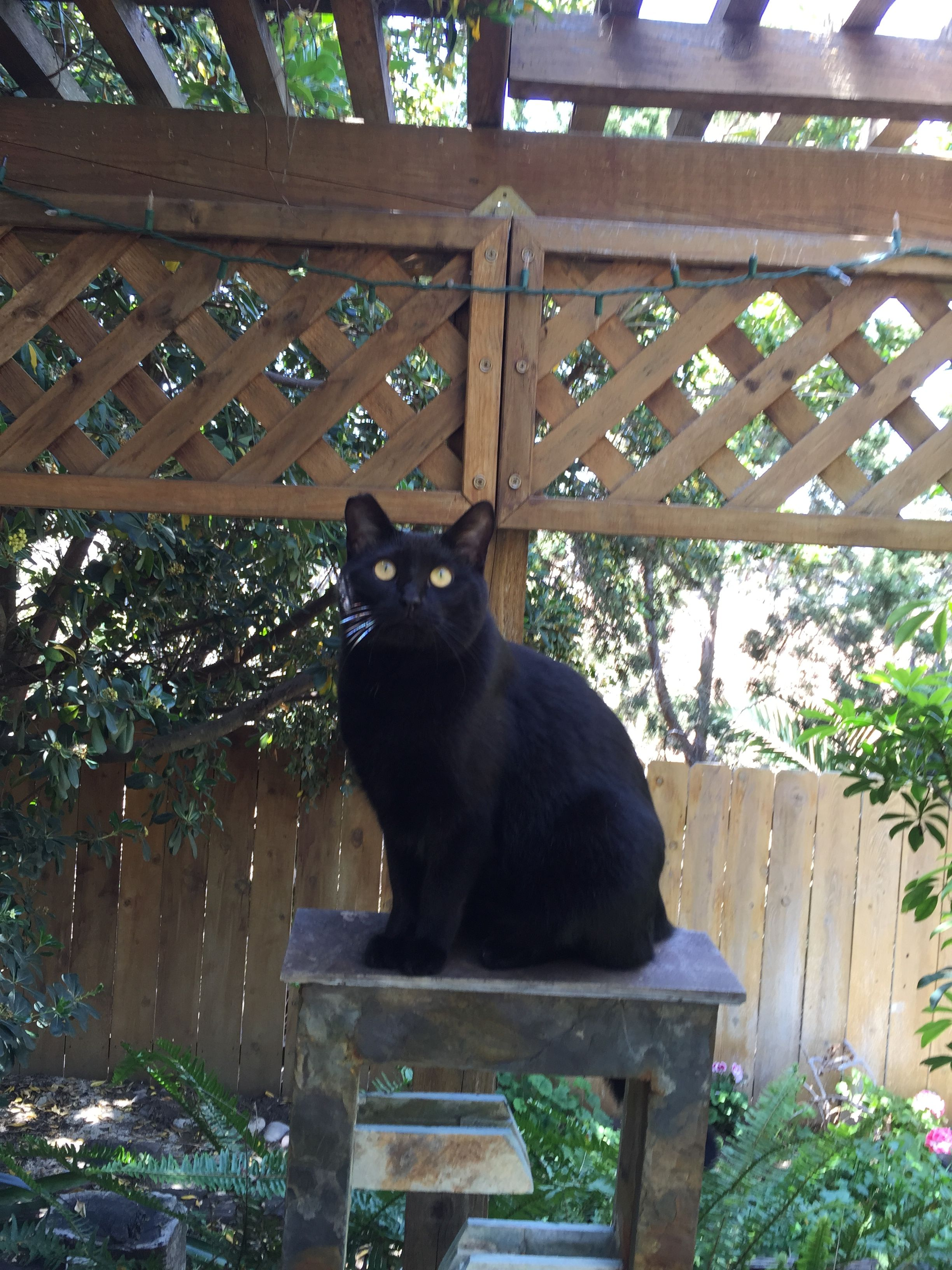 midget Kitty black