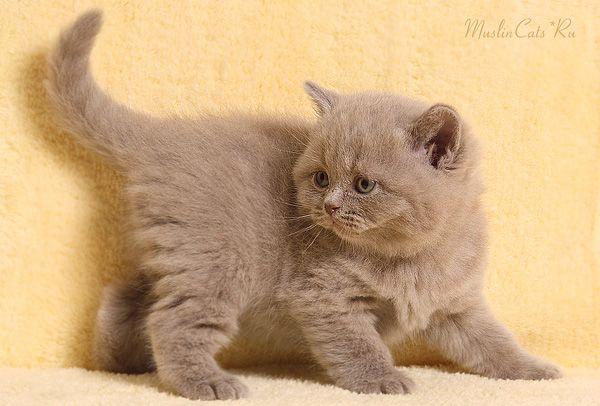 British Shorthair Lilac Kitten Boy British Shorthair British Shorthair Kittens British Shorthair Cats