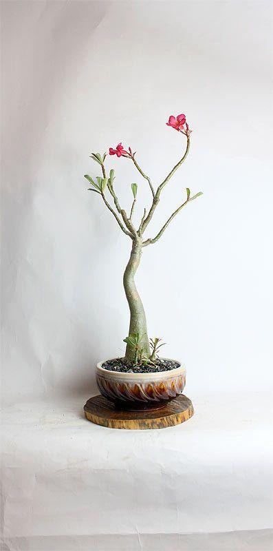 Desert Rose Bonsai Tree By Livebonsaitree By