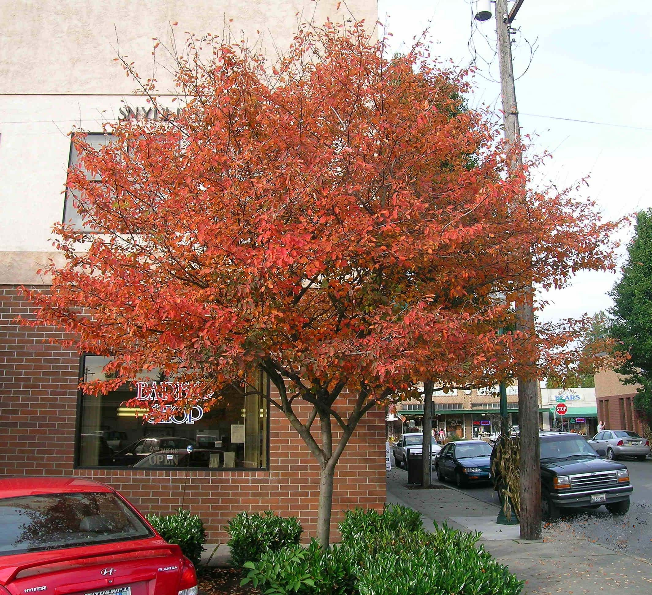 Autumn Brilliance Serviceberry Fall Color. \