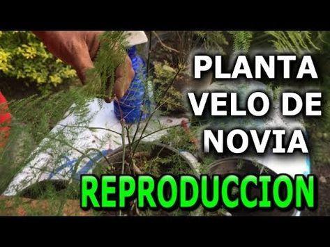 3dc4bb1ba9 Como reproducir y cuidar la planta velo de novia o helecho plumoso  (Asparagus setaceus) - YouTube