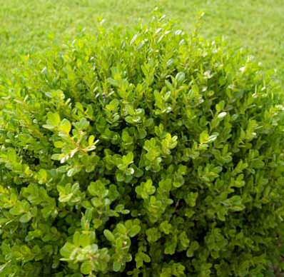 The Low Maintenance Fragrant Evergreen The Green Velvet