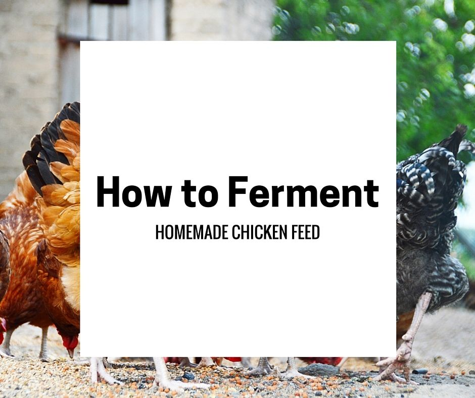 Feed Your T-Rex Part 2: Fermenting Chicken Feed For