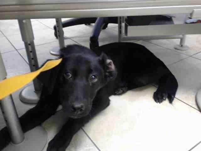 Labrador Retriever dog for Adoption in Houston, TX. ADN