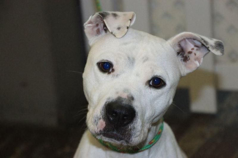 **FOSTER HOME WANTED** Layla is a 2 year old pittie mix who was being surrendered while we were in the lobby. She came in on a chain instead of a leash and collar. Her owners no longer can care for her. She is so friendly, confident, and happy....