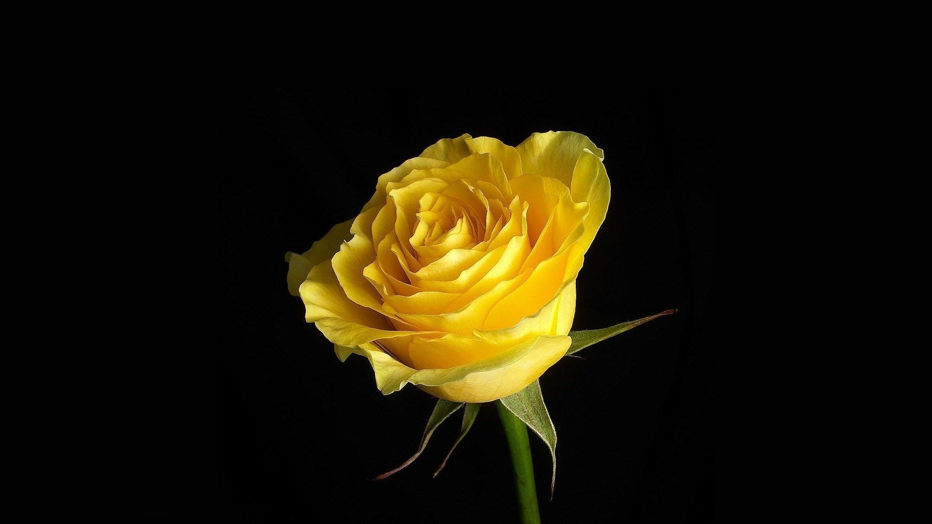 Yellow Rose Rosas Amarelas Papel De Parede Rosa Rosas