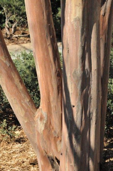 Reason For Peeling Bark On A Crepe Myrtle Crepe Myrtle Trees Myrtle Tree Crepe Myrtle