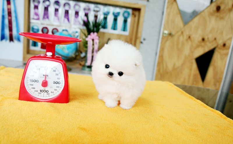 Teacup Puppies For Sale Dog Boutique For Teacups Dogs For Sale Designer Dog Clothes And Teacup Yorki Teacup Puppies Teacup Puppies For Sale Puppies For Sale