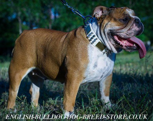 English Bulldog White Leather Collar with Cones, Spikes, Plates ...