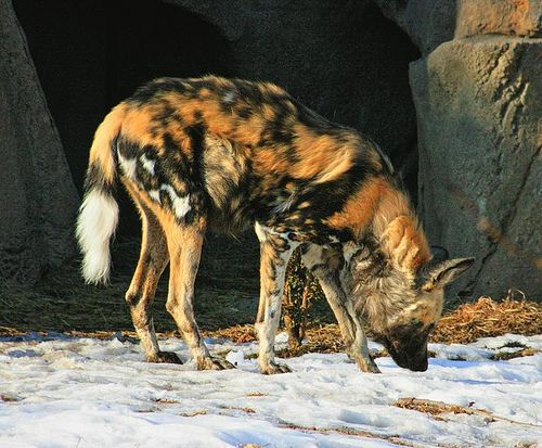 10 Charismatic Animals Whose Names Begin With The Letter D African Wild Dog With Images Animals Lincoln Park Zoo African Wild Dog