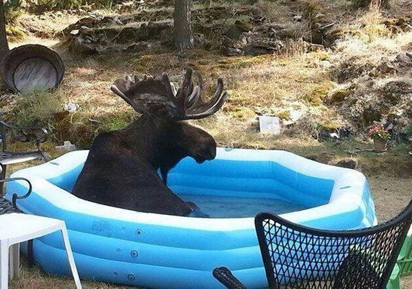 Un alce en una piscina
