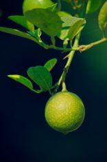 Lemon, C. limon stock photo