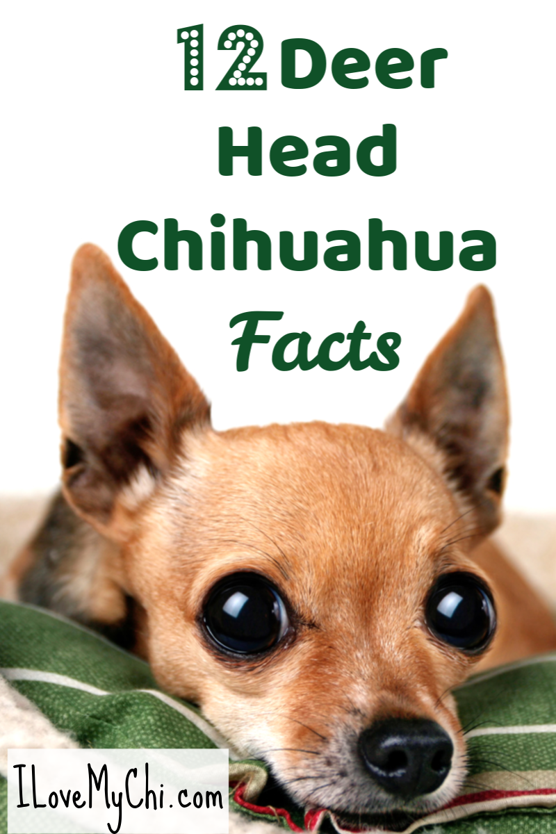 Facts About Deer Head Chihuahuas Chihuahua Facts Chihuahua Breeds Chihuahua