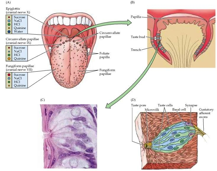 taste buds anatomy #Wine #Wineeducation | Wine Education | Pinterest ...