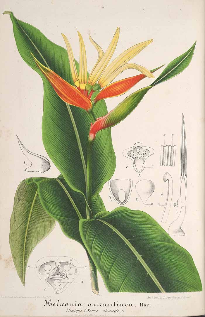 36761 Heliconia aurantiaca Ghiesbr. ex Lemaire / L' Illustration horticole, vol. 9: t. 332 (1862) [P. Stroobant]
