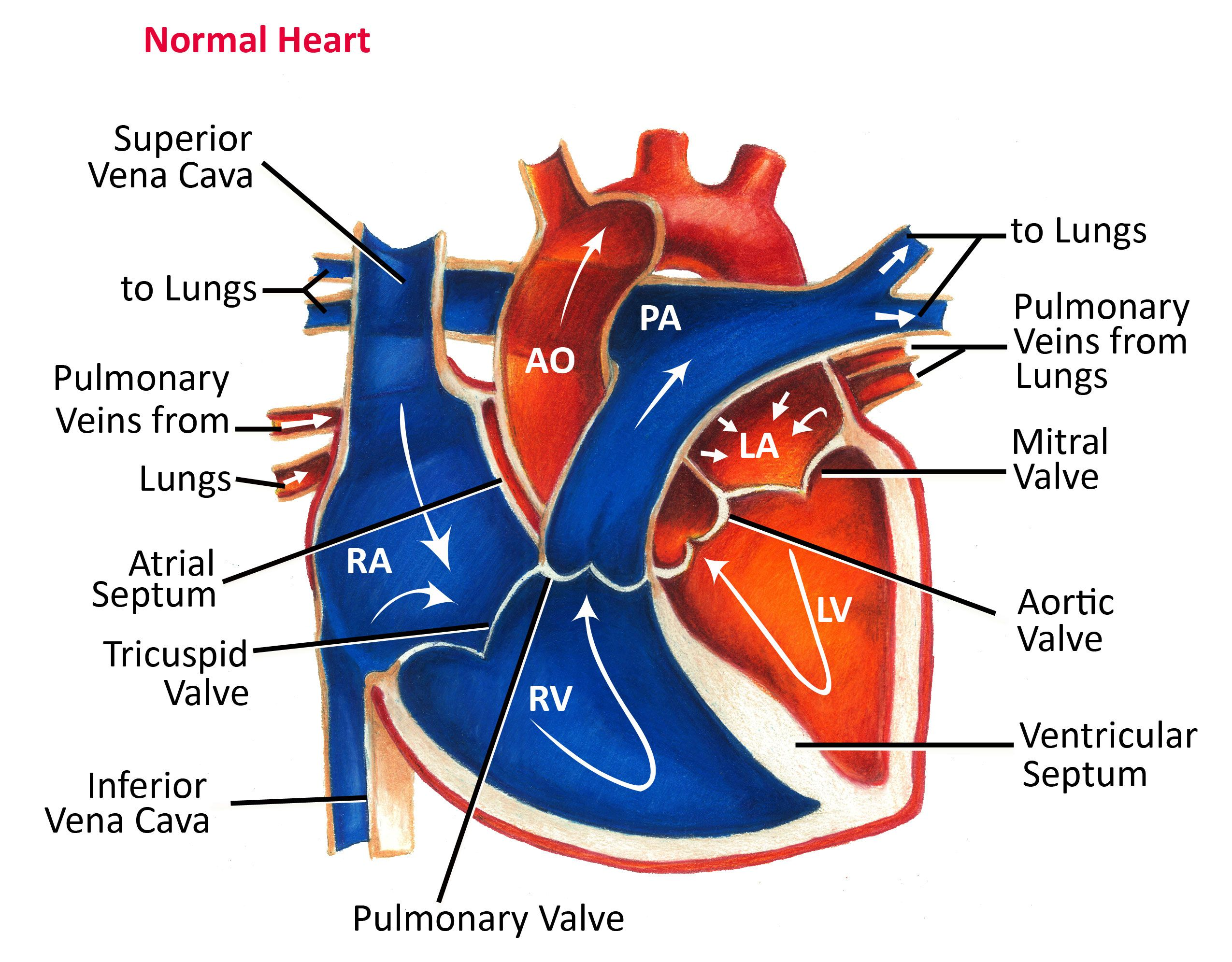 medium resolution of anatomy of the heart normal heart anatomy and blood flow pediatric heart specialists