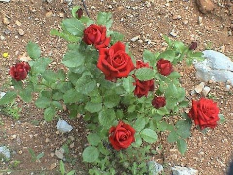 Difference In English Rose Desi Rose Planting Roses In Pots Nursery Visit Urdu Hindi Youtube