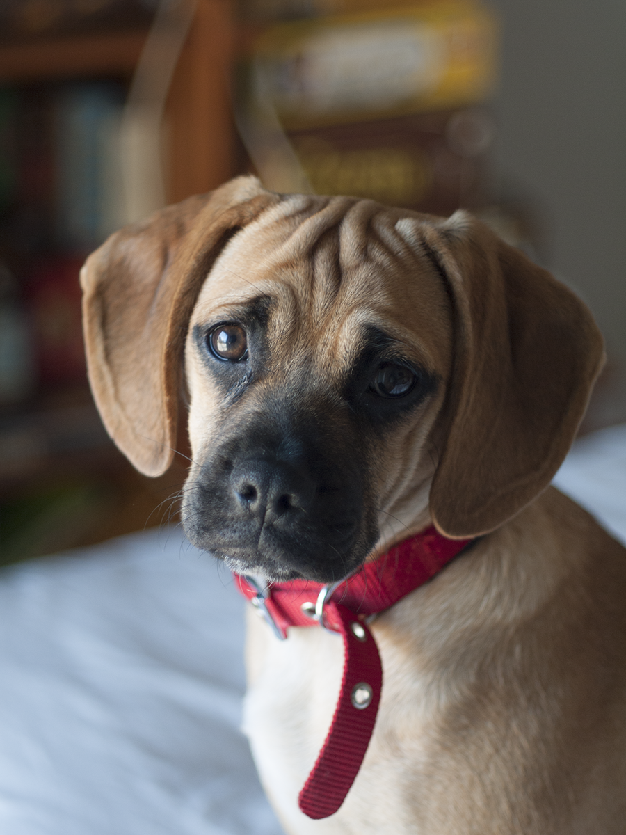 Lily the #puggle