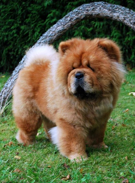 My Next Dog Brutres Mortimer Fluffy Dogs Chow
