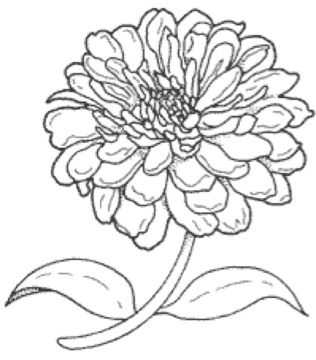 Zinnia Line Drawings Google Search Zinnias Drawings Fabric