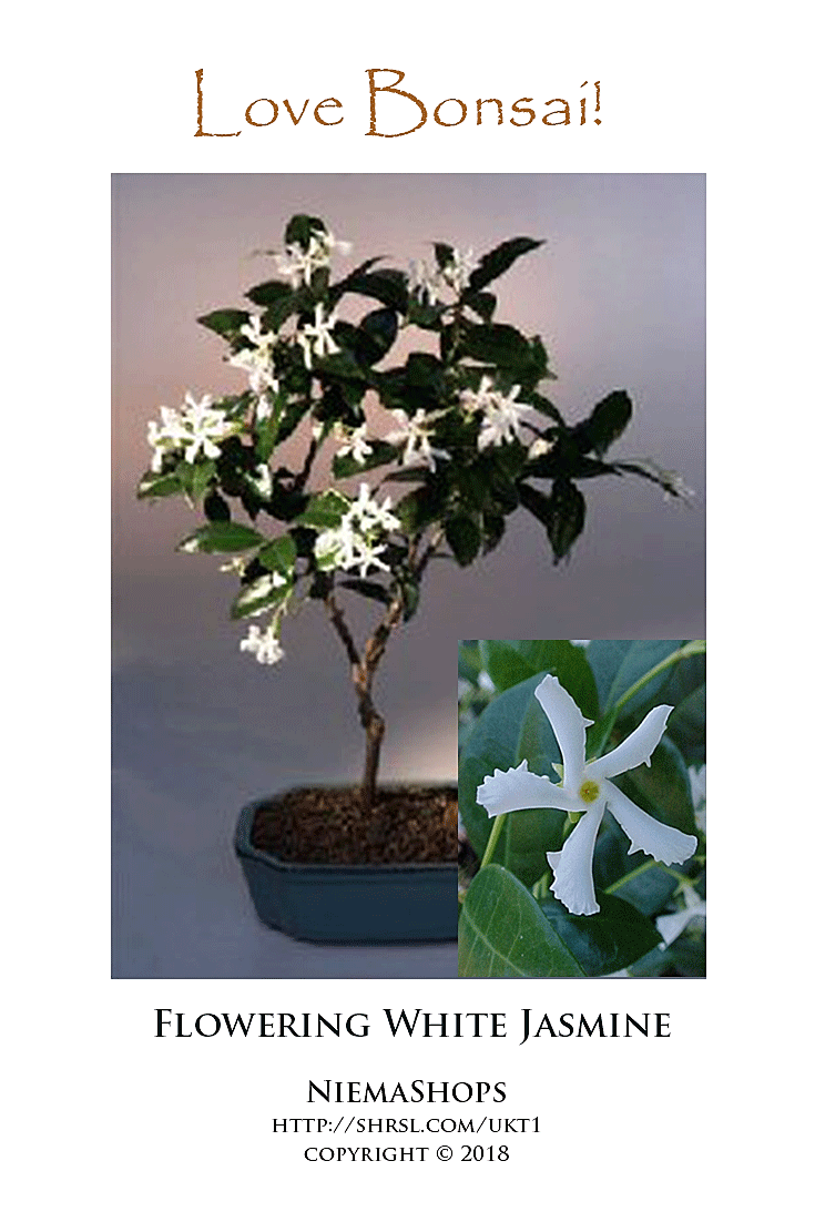 The Jasmine Is A Bushy Vine Here Its Trained Into Tree Form It