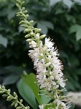 Clethra alnfolia sugartina crystalina pepper bush fragrant white clethra alnfolia sugartina crystalina pepper bush fragrant white flower spikes zones 4 9 blooms summer to late summer 2 3 mightylinksfo