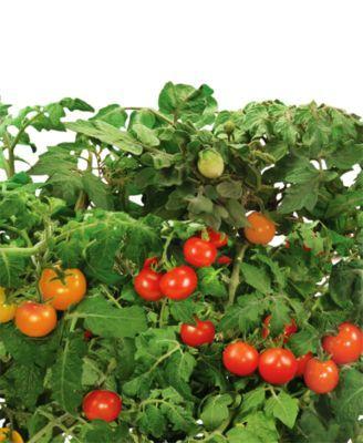 Aerogarden Heirloom Cherry Tomatoes 9 Pod Refill Kit 640 x 480