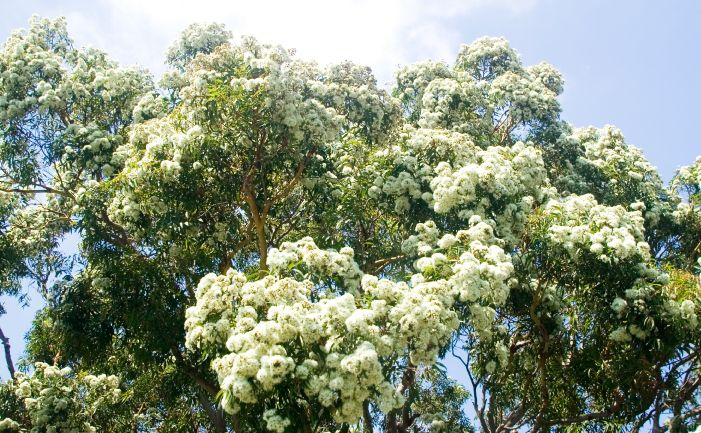 Top Ten Gum Trees - Gum trees have had a lot of bad press: they grow too big, fall over, drop branches and have other habits gardeners will not...