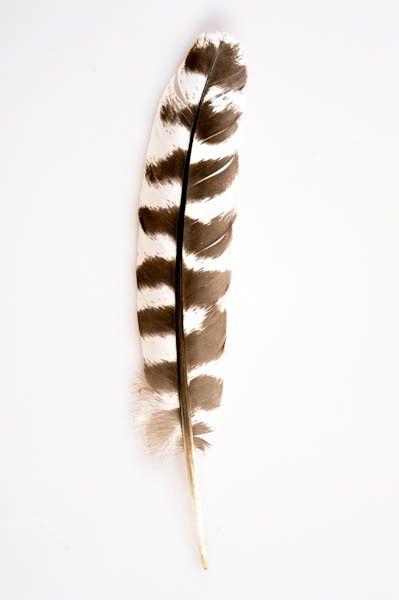 plume d 39 aigle imitation 10 15 cm tigr aigle royal inspiration pinterest aigle plumes. Black Bedroom Furniture Sets. Home Design Ideas