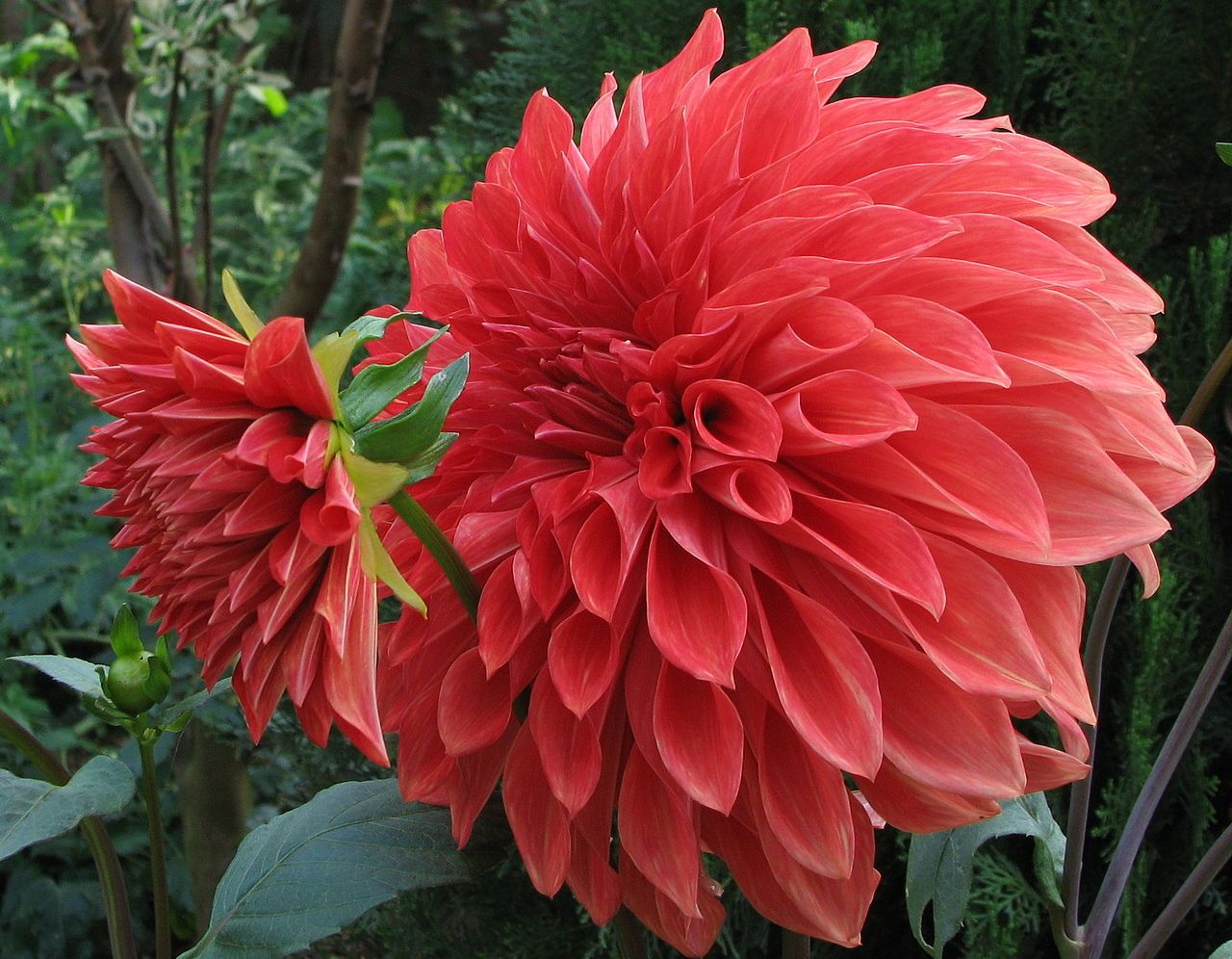 Another Dahlia From My Blog On Flowers In Spanish America Flowers Spanish America